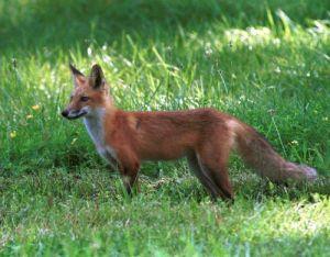 Αλεπού (Vulpes vulpes)